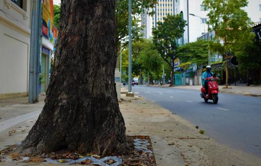 Chuyện từ cây vấp cổ thụ độc nhất trên đường phố Sài Gòn