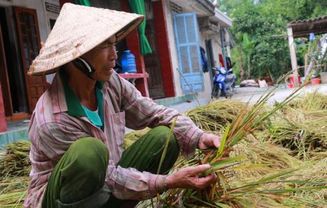 Ngày buồn trên đồng lúa mùa thu hoạch