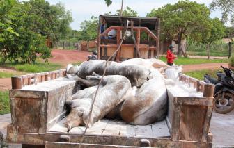 Dịch tả heo châu Phi bùng phát trở lại