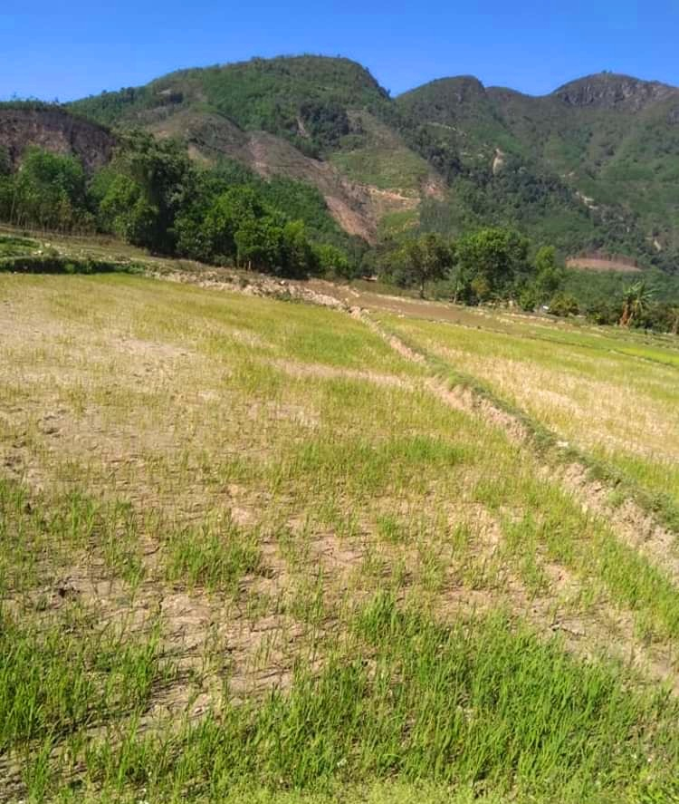 Một cánh đồng vừa gieo sạ hơn nửa tháng ở xã Phong Xuân  (Phong Điền) nay phải bỏ hoang.