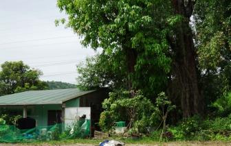 """Bất lực nhìn 3 cây """"quái thú"""" mắc kẹt hơn 2 năm trên đất Huế"""