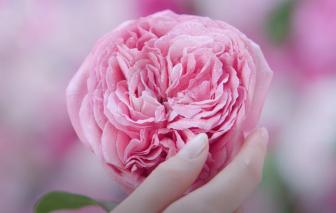 Sữa rửa mặt NIVEA Hokkaido Rose - da mềm mịn tựa đóa hoa