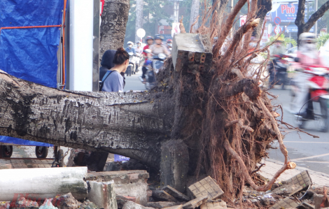 Đừng để cây trong sân trường trở thành tai họa