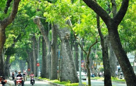 Rà soát cây xanh toàn TPHCM sau vụ phượng vĩ ngã đè 1 học sinh tử vong