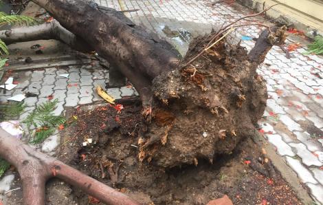 Lại một cây phượng bật gốc đè xe tải ở Sài Gòn