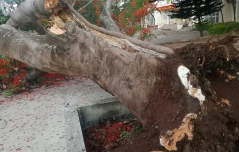Thêm một cây phượng cổ bất ngờ bật gốc giữa sân trường