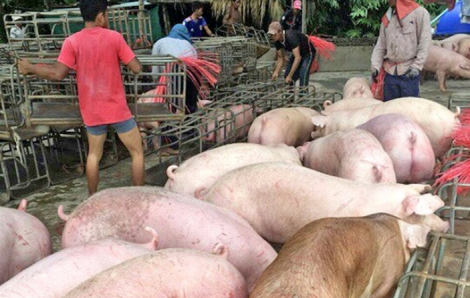 """Nhập khẩu heo sống để """"giảm nhiệt"""" giá thịt trong nước"""