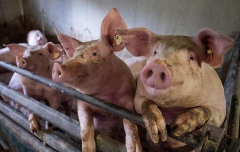 Cúm lợn mới tìm thấy ở Trung Quốc có khả năng lây sang người, gây ra đại dịch