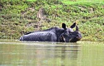 Tám con tê giác quý hiếm chết đuối vì lụt ở Ấn Độ