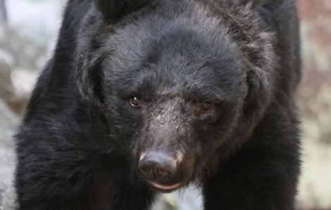 Cụ bà 82 tuổi ở Nhật tay không đánh đuổi gấu