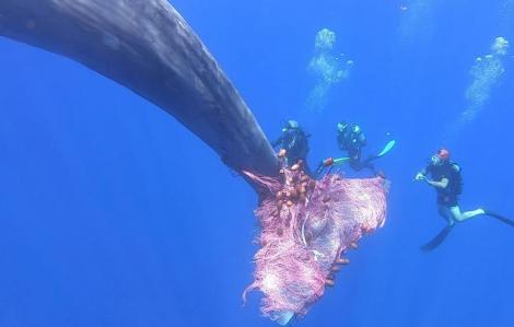 Nghẹt thở giải cứu cá nhà táng khổng lồ mắc lưới