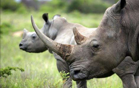Tê giác và động vật hoang dã bị đe doạ trước dịch COVID-19