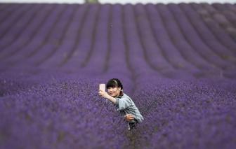 Mùa dịch, cùng du lịch từ xa đến những đồng hoa oải hương bạt ngàn