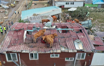 Độc đáo trước những nỗ lực thoát thân của đàn gia súc tại Hàn Quốc trong đợt mưa lũ kỷ lục