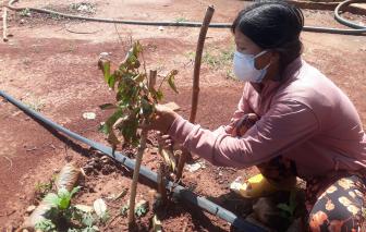 Hàng trăm cây ăn quả của đôi vợ chồng bị chặt phá ở huyện Xuyên Mộc