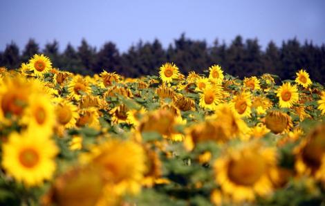 Ngắm những cánh đồng hoa hướng dương phủ sắc vàng đến tận chân trời