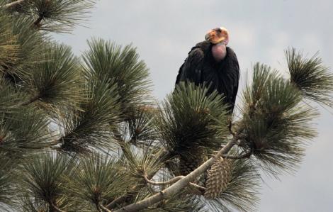 Số phận của loài kền kền California không biết ra sao khi khu bảo tồn bị cháy