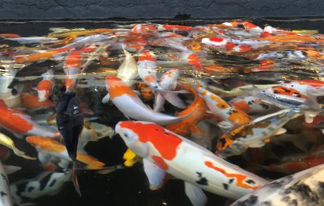 Rong chơi Sài Gòn: Đi ngắm cá Koi