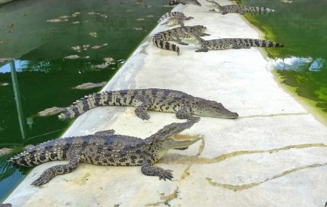 Thủ phủ cá sấu điêu đứng vì dịch COVID-19