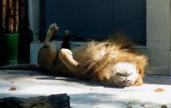 """Rong chơi Sài Gòn: Đi tìm em sư tử """"ngủ chổng vó"""" năm ấy"""
