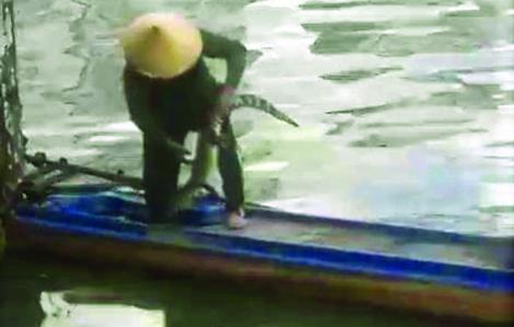 Nỗi lo cá sấu ở TPHCM sổng chuồng, ra sông