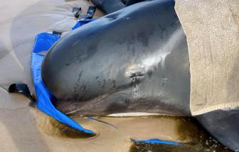 """Australia """"đau đầu"""" xử lý gần 400 xác cá voi trong thảm họa cá mắc cạn lớn nhất lịch sử"""