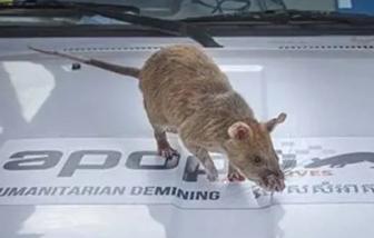 Chú chuột được trao huy chương vàng vì sự nghiệp cứu người ở Campuchia