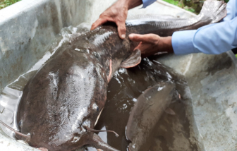 """Hậu Giang: Một nông dân bắt được con cá trê """"khủng"""" nhất từ trước tới nay"""