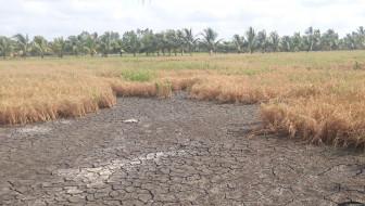 Đồng bằng sông Cửu Long sẽ giảm hơn 1 triệu tấn gạo