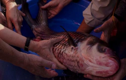 Thả hơn một triệu con cá quý hiếm xuống Vàm Nao