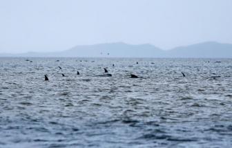 Hơn 100 con cá voi chết vì mắc cạn tại New Zealand