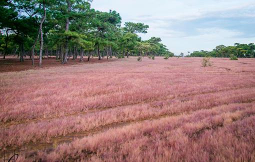 Cận cảnh 174ha rừng thông đẹp như mơ mà FLC trúng thầu dự án làm sân golf