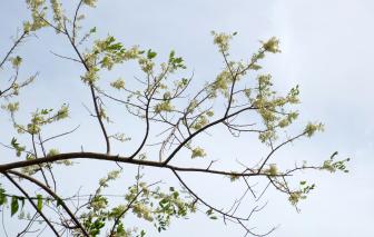Còn đâu sự thong dong của hoa đào Long Hải?
