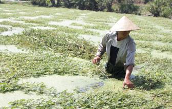 Nghề trồng rau nhút lắm gian nan giữa Sài Gòn