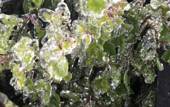 Cây cối đóng băng ở Nghệ An, hơn 10.000 học sinh phải nghỉ học chống rét
