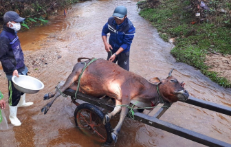 Thừa Thiên - Huế: Một huyện có hơn 900 gia súc chết vì rét