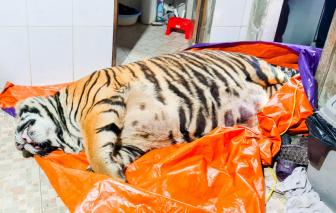 Hà Tĩnh phát hiện hổ nặng 250kg bị chích điện chết