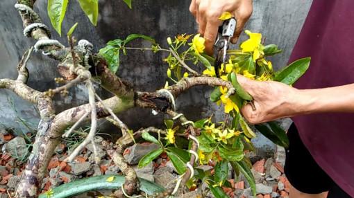 Sau tết, chăm sóc mai như thế nào để đảm bảo sức khỏe cho cây?