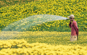 Rực rỡ cánh đồng hoa cúc vàng ở Đồng Nai