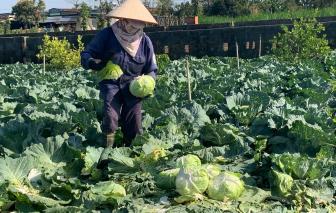 Rau, củ chỉ còn 1.000 đồng/kg, người trồng nhổ bỏ làm phân