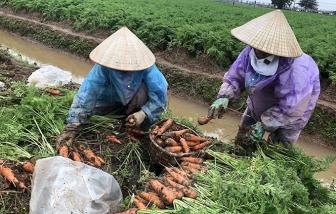 Ngàn tấn cà rốt Hải Dương chuẩn bị xuất khẩu đi Hàn Quốc