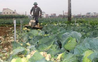 Bán không ai mua, nông dân đành để rau xanh thối rữa ngoài đồng
