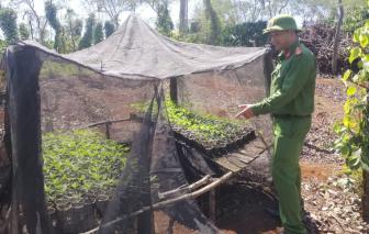 Đắk Lắk: Tạm giữ 2 anh em ruột trồng hàng nghìn cây cần sa trong rẫy cà phê