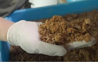 Singapore dùng ấu trùng ruồi để xử lý chất thải từ thực phẩm