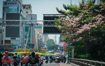 TPHCM: Hoa kèn hồng nở rộ giữa đợt nắng nóng