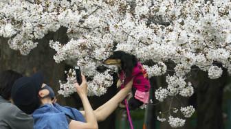 Hoa anh đào nở sớm ở Nhật Bản vì biến đổi khí hậu