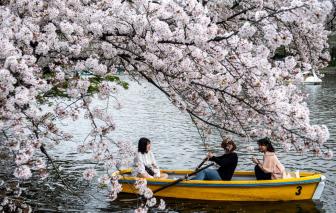 Chùm ảnh hoa anh đào nở rộ khắp nơi trên thế giới