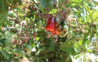 Hạt điều tươi tại vườn còn 22.000-24.000 đồng/kg