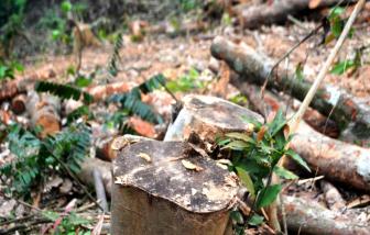 Nghệ An: Rừng mới trồng được vài năm đã bị chặt trụi hàng ngàn m2