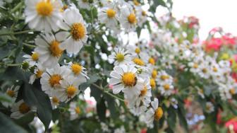 Mùa hoa xuyến chi nở rộ